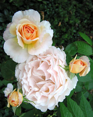 Peach Tamora Roses Print by Janice Paige Chow