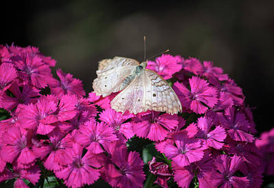 Peacock Butterfly On Fuchsia Phlox Original by Suzanne Gaff