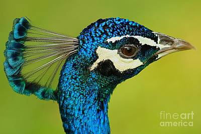 Peacock Photograph - Peacock Close Up by Mingtaphotography