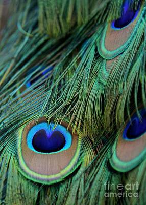 Peafowl Photograph - Peacock Feathers by Sabrina L Ryan