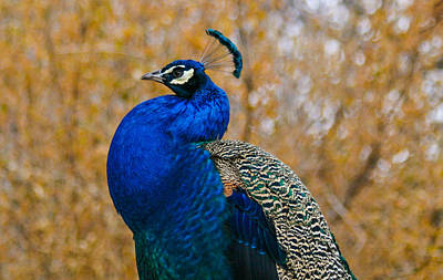 Peacock Pose Print by Mindy Musick King