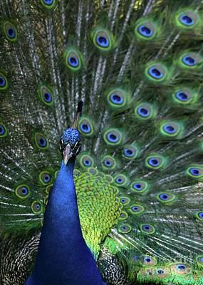 Peacock Print by Sabrina L Ryan