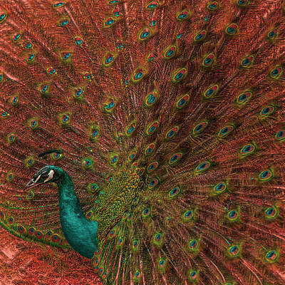 Peacock Spread Print by Jack Zulli