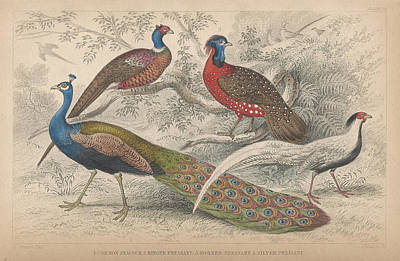 Peacock Drawing - Peacocks by Oliver Goldsmith