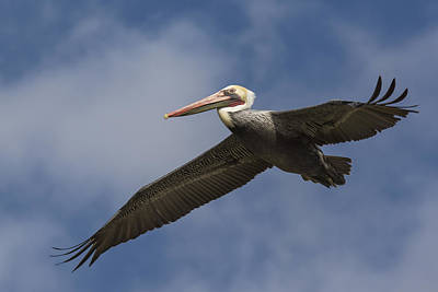 A Pelican Flying Print by Bruce Frye