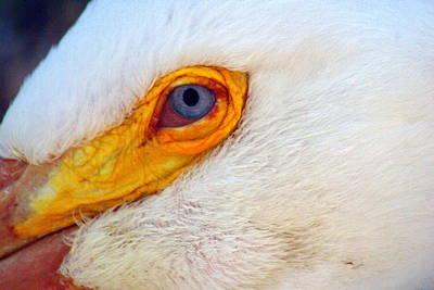 Pelican's Eye Print by Marty Koch