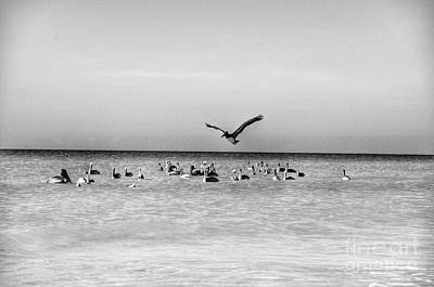 Photograph - Pelicans by Frank Williams