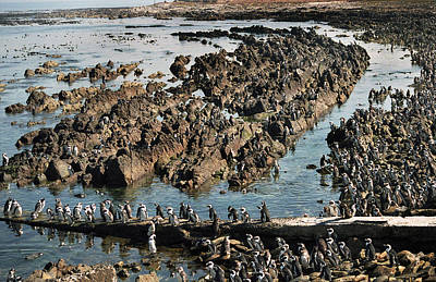 Penguins Of Robben Island Original by Terence Davis