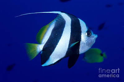 Pennant Butterflyfish Print by Ed Robinson - Printscapes