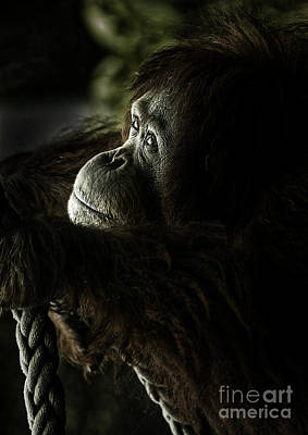Pensive Orang Utan Print by Avalon Fine Art Photography