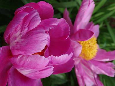 Peonies Photograph - Peonies In Pink by Rebecca Overton