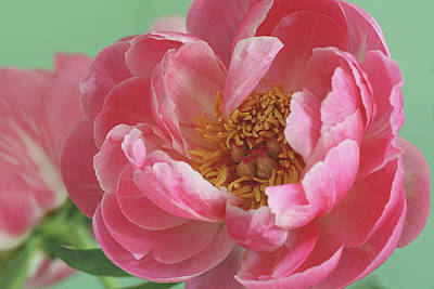 Peony Print by © 2011 Staci Kennelly