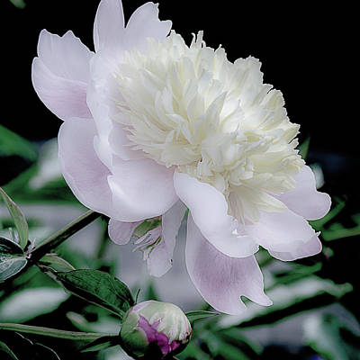 Photograph - Peony In Bloom by Julie Palencia