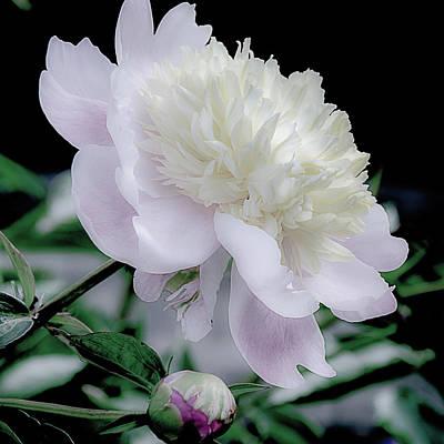 Peony In Bloom Print by Julie Palencia