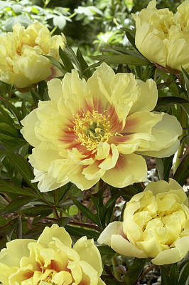 Paeony Photograph - Peony Paeonia Sp Bartzella Variety by VisionsPictures