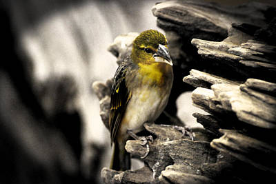 Canary Photograph - Perched by Martin Newman