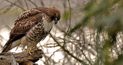 Perching Red Tail Hawk Print by Matt MacMillan