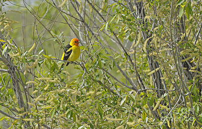 Perching Tanager Print by Dennis Hammer