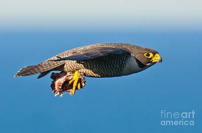 Hunting Bird Photograph - Peregrine Falcon 2 by Michael  Nau