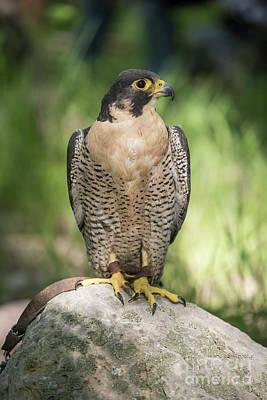 Talons Photograph - Peregrine Falcon by Juli Scalzi