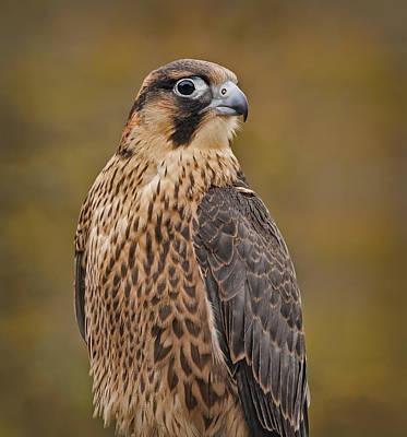 Falcon Photograph - Peregrine Falcon Portrait by Susan Candelario