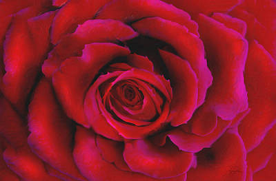 Bloom Mixed Media - Perfect Rose by Joel Payne