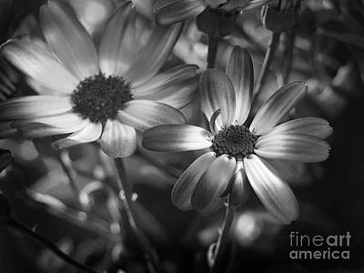 Pericallis Senetti Blue Bicolor In Monochrome 2 Print by Dorothy Lee