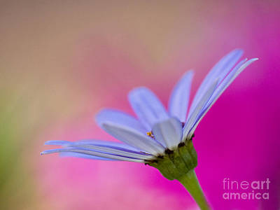 Pericallis Senetti Closeup Print by Dorothy Lee