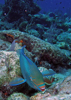 Perky Parrotfish Print by Kimberly Mohlenhoff