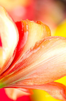 Amaryllis Photograph - Petal Colours Subtle Colors Of An Amaryllis by Andy Smy