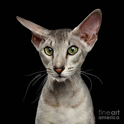 Peterbald Sphynx Cat On Black Background Print by Sergey Taran