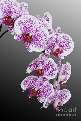 Macro Photograph - Phalaenopsis Hybrid Orchid by Judy Whitton