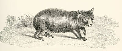 Marsupial Drawing - Phascolonus Of The Wombat Family by Vintage Design Pics