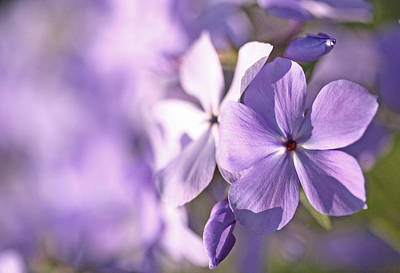 Phlox Print by Don Ziegler