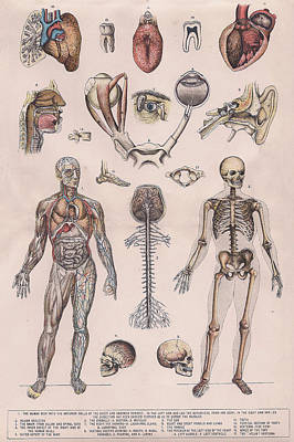 Physiology, Diagrams Of The Human Body Print by Victorian Engraver