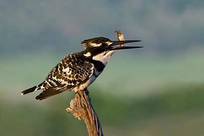 Pied Kingfisher Original by Basie Van Zyl