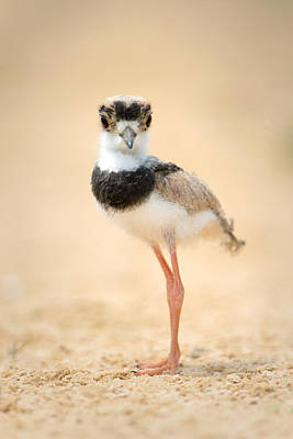 Wetlands Photograph - Pied Plover Vanellus Cayanus Chick by Panoramic Images