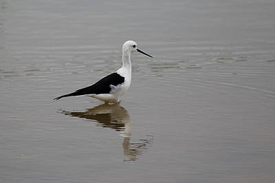 Black_white Photograph - Pied Stilt by Ramabhadran Thirupattur