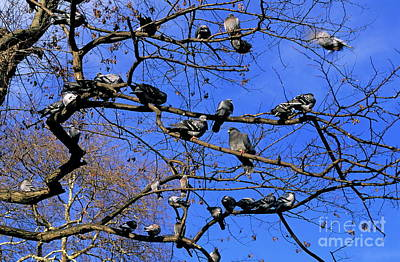 Pigeons Perching In A Tree Together Print by Sami Sarkis