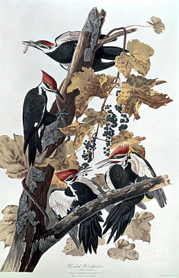 Leaves Painting - Pileated Woodpeckers by John James Audubon