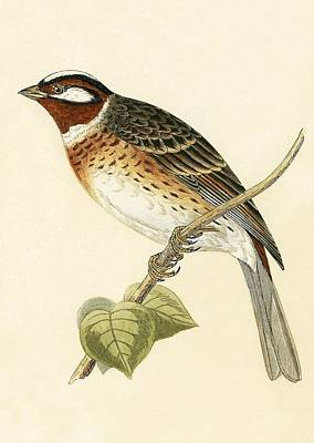 Pine Bunting Print by English School