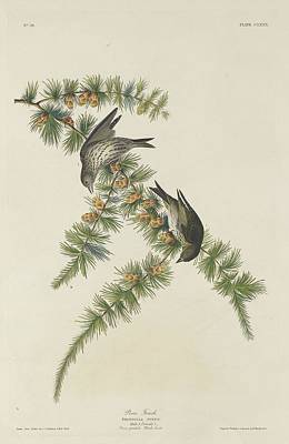 Pines Drawing - Pine Finch by John James Audubon