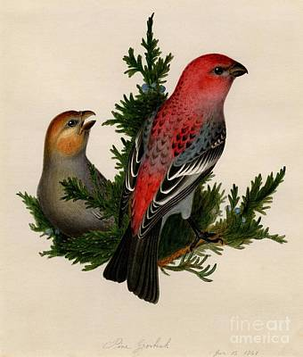Up Painting - Pine Grosbeak by Celestial Images