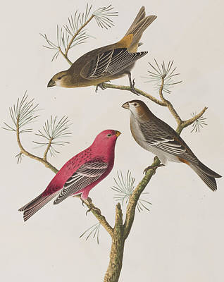 Pine Grosbeak Print by John James Audubon