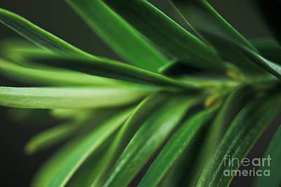 Pine Needles Print by Ryan Kelly