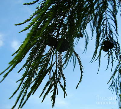 Pine Nuts Print by Iris M Gross
