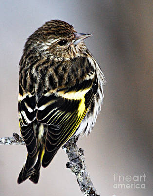 Siskin Photograph - Pine Siskin by Larry Ricker