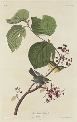 Pines Drawing - Pine Swamp Warbler by John James Audubon