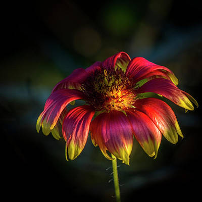 Buttercup Photograph - Pineapple Buttercup by Marvin Spates