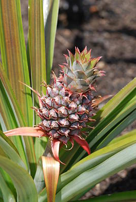 Mental Imagery Photograph - Pineapple by Don  Wright